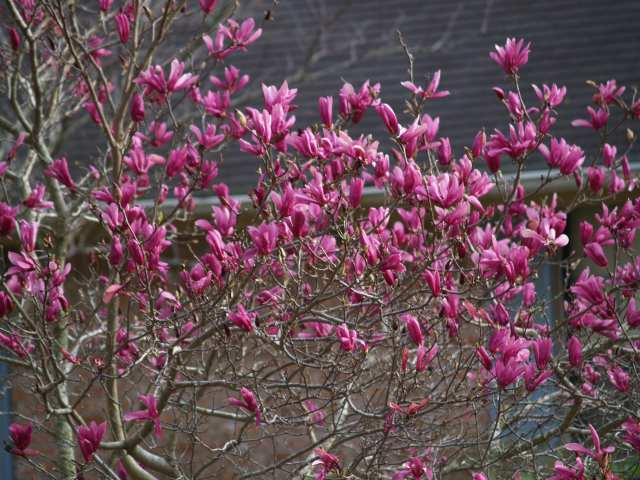 "BETTY MAGNOLIA TREE- Gorgeous Tree with Purple Flowers-8"" flowers that are deep purple-red on the outside and cream colored on the inside"