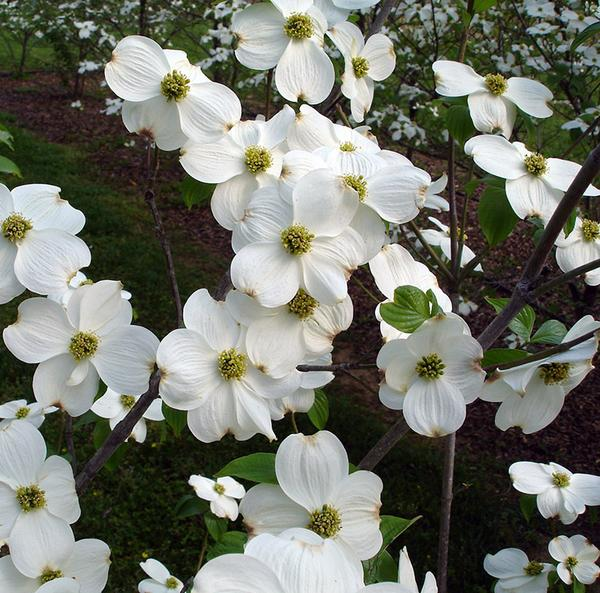 Joy Dogwood, Breathtakingly Beautiful Tree is an Excellent Choice to Plant Along Streets
