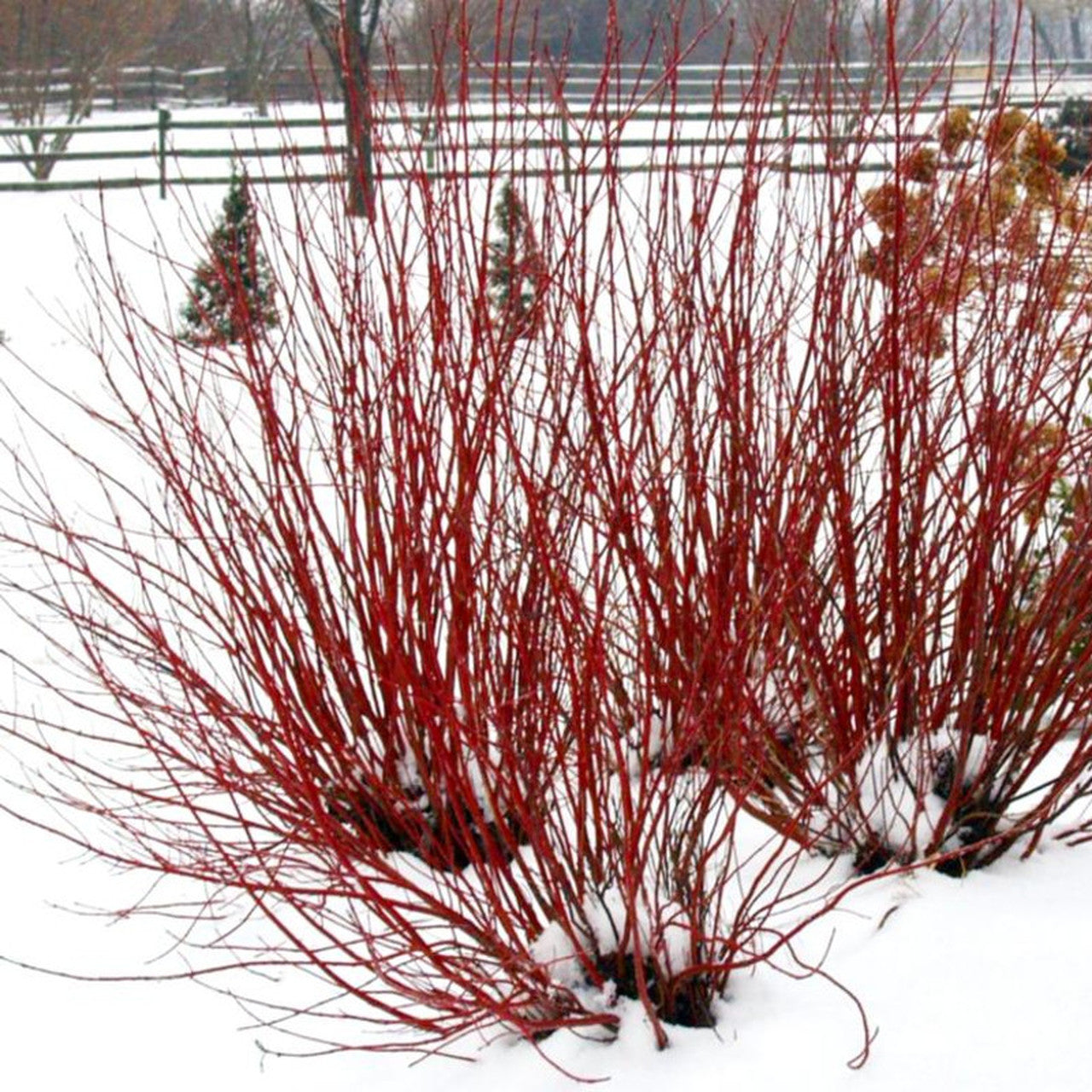 """RED TWIG"" DOGWOOD, CORAL RED BARK, GREAT FOR EROSION PREVENTION AND MASS PLANTINGS HAVE A STUNNING WINTER VISUAL IMPACT, YEAR ROUND INTEREST,"
