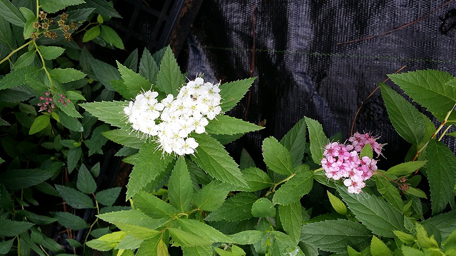 (1 Gallon) Shirobana Spirea, 3 Different Colored (White, Light Pink and Dk Pink) Blooms on the Same Plant, Small Compact Shrub,