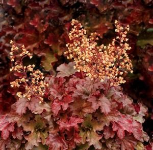 (1 Gallon Plant) Heucherella Buttered Rum CORAL BELLS, Evergreen, SHORT, Caramel-dipped, deeply-cut maple leaves, in fall the leaves turn exquisite rose red. PIXIES_DUD