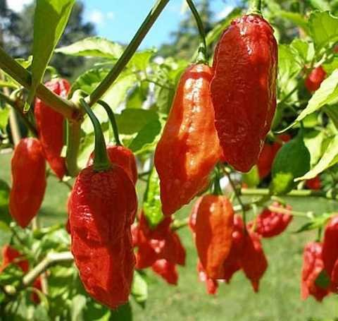 (quart) -GHOST PEPPER PLANT , and ghost chili, hottest chili pepper. ALSO it is often used to make military grade pepper sprays and pepper gas grendades (Evergreens, Gardenia Flowers Shrub