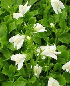 "(Flat of 10 Plants in 4.5"" Pots) Mazus Reptans 'Albus' White Creeping Mazus, Light Green, Oval Shaped Foliage with Pale White Flowers, Spreading, Rich Moist Soil. PIXIESDS_EGN"