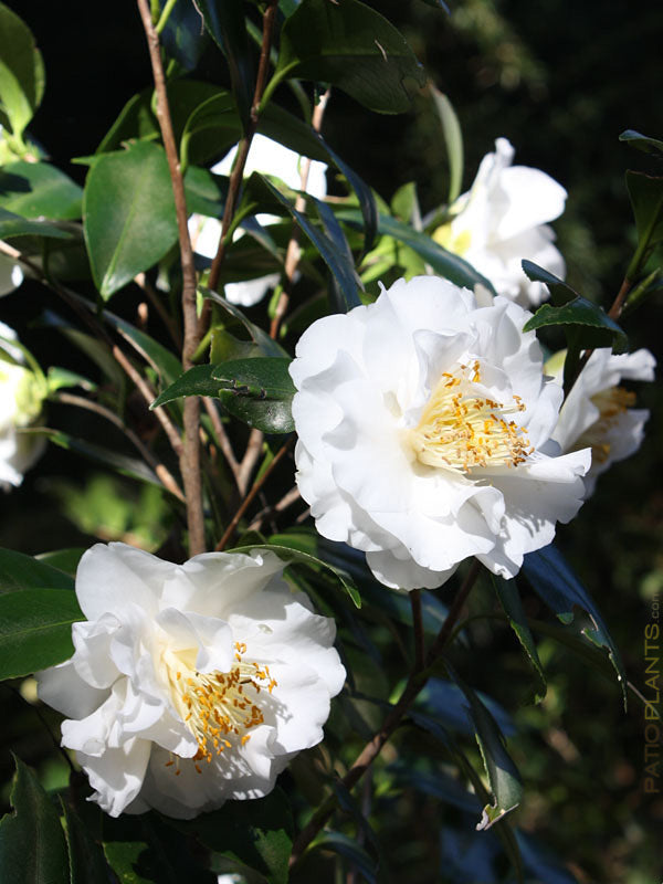 (1 Gallon) Camellia EMMETT BARNES, White, large semi-dbl bloom, blooms winter/spring