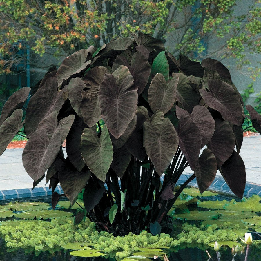(1 gallon) Black Magic ELEPHANT EAR, great tropical look, mammoth leaves can be more than 3 feet long on plants that can grow higher than 6 feet tall,