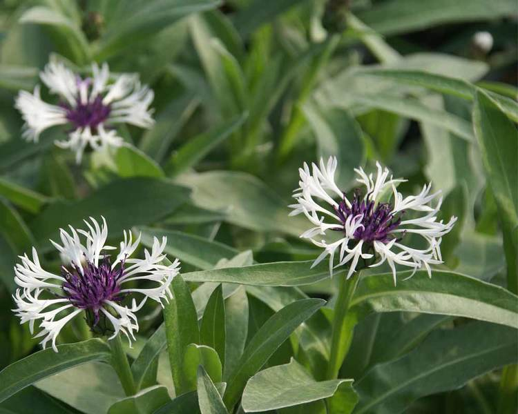 1 Gallon Pot: Centaurea montana 'Amethyst in Snow' Cornflower PP18284.Grey-green foliage, low mounding form, blooms of white petals and purple centers, self-seeding. Cut back hard mid-summer to rejuvenate foliage.