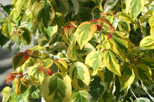 Dogwood Celestial Shadow (Hybrid) Tree- Variegated Dogwood with White Flowers, Green Leaves with White margins, Turning Pink, Highly Resistant to anthracnose