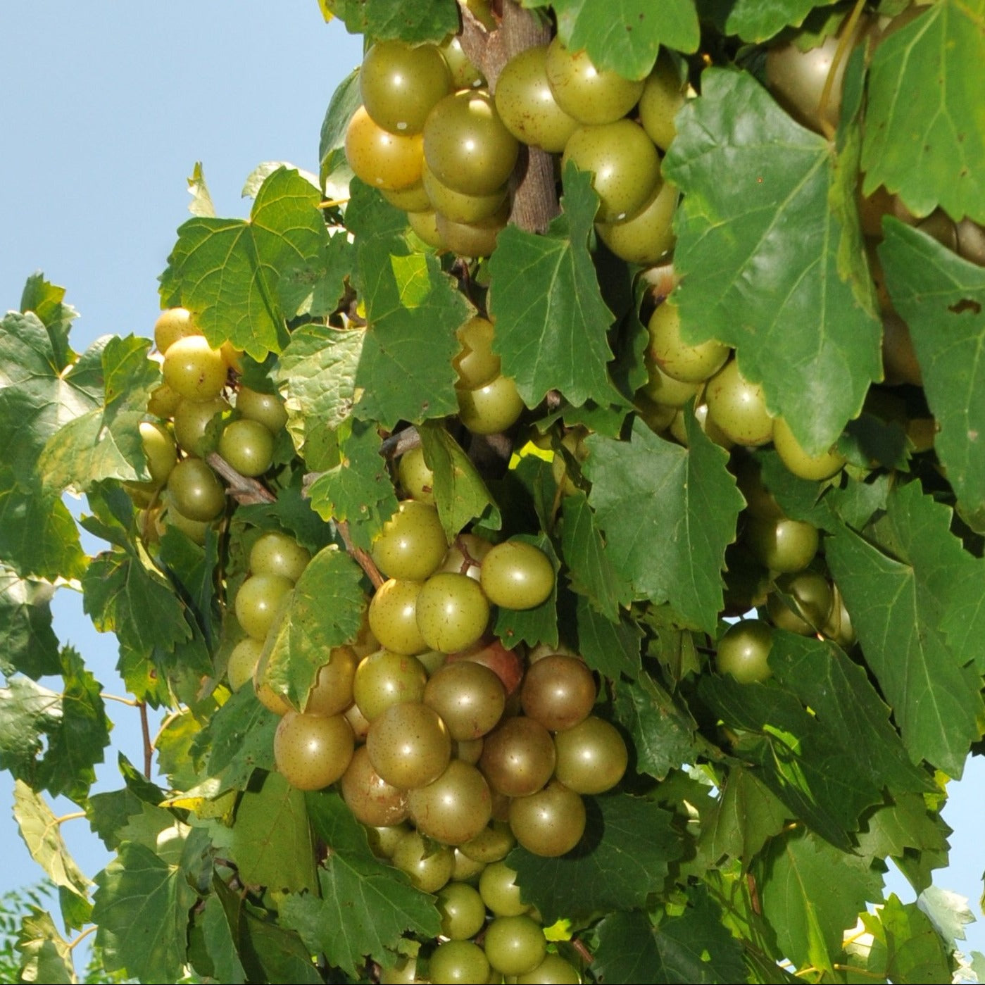 Sterling Muscadine Grape Vine, Excellent Cold Hardiness, Bronze; High Yields, Self Pollinating