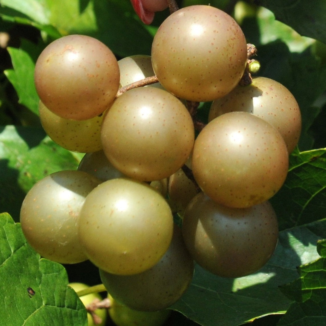 CARLOS MUSCADINE GRAPE- bronze fruit. Sweet and self-fertile with a pleasing flavor. No spraying or bagging of fruit clusters needed. Native, best for WHITE WINE,