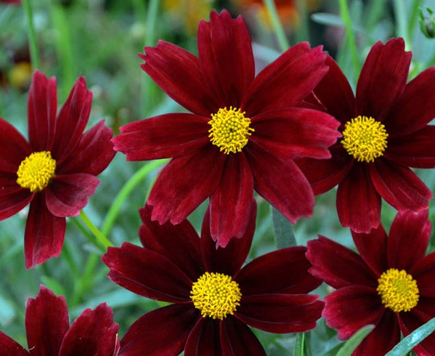 1 Gallon Pot: Coreopsis Li'l Bang 'Red Elf' PPAF. Tickseed. Small, bun-shaped mound of green foliage with deep burgundy blooms and yellow centers all season without deadheading. Disease resistant.