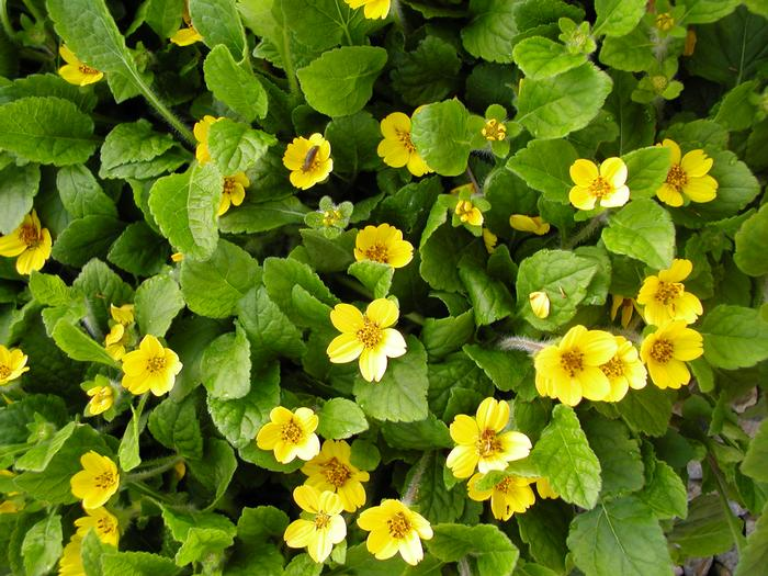 Chrysogonum virginianum Pierre, Green and Gold is a deciduous, low growing, mat forming plant. Yellow, daisey-like blooms appear in Spring and last until Early Summer. PIXIESDS_EGN