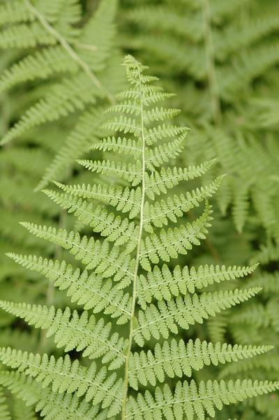 (25 plants bare root)    Dennstaedtia punctilobula  Hay Scented Fern,  - set of 25 plants shipped Bare-root,