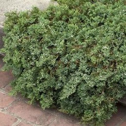 Blue Rug Juniper -a trailing, low growing, very prostrate, evergreen, makes a good groundcover for full sun slopes.