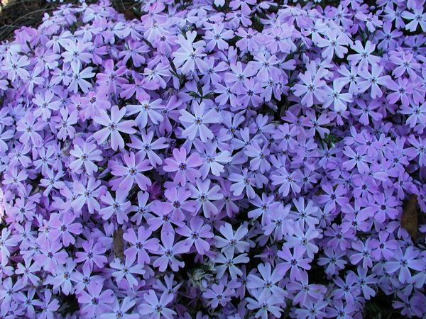 Phlox subulata 'Blue Emerald' Blue Creeping Phlox