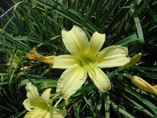 (25 plants bare root)    Hemerocallis 'White Triangle' White Triangle Daylily - set of 25 plants shipped Bare-root