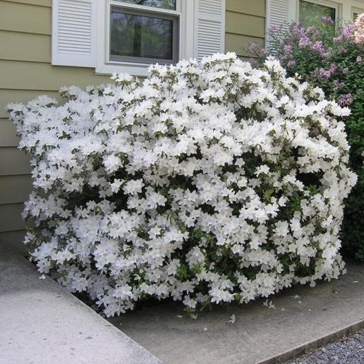'Delaware Valley White' AZALEA- dazzling display of lightly fragranced white bell shaped flowers and dark green, evergreen leaves PIXIES_DUD
