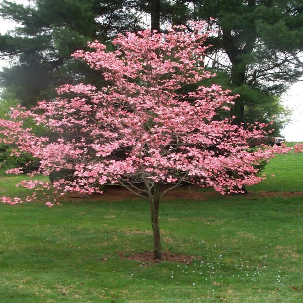 Cherokee Chief Dogwood Tree- Gorgeous Red flowers in Spring, vibrant red berries, green leaves turn crimson in Fall.