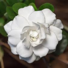 Double Mint Gardenia- Gorgeous Intense Fragrance,  reblooming gardenia to the point of continuous bloom through summer, can take full sun