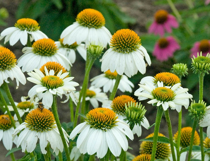 Quart Pot/10 count flat: Echinacea purpurea 'Pow Wow White' Coneflower.Well branched plant; plentiful, large, pure white blooms with yellow centers, reblooms without deadheading, but doing so encourages more blooms. PIXIESDS_EGN