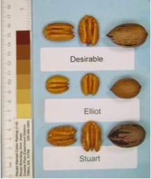 STUART PECAN Tree, Large Pecans. Large nut with medium hard shell. Easy to crack, good quality and good flavor.
