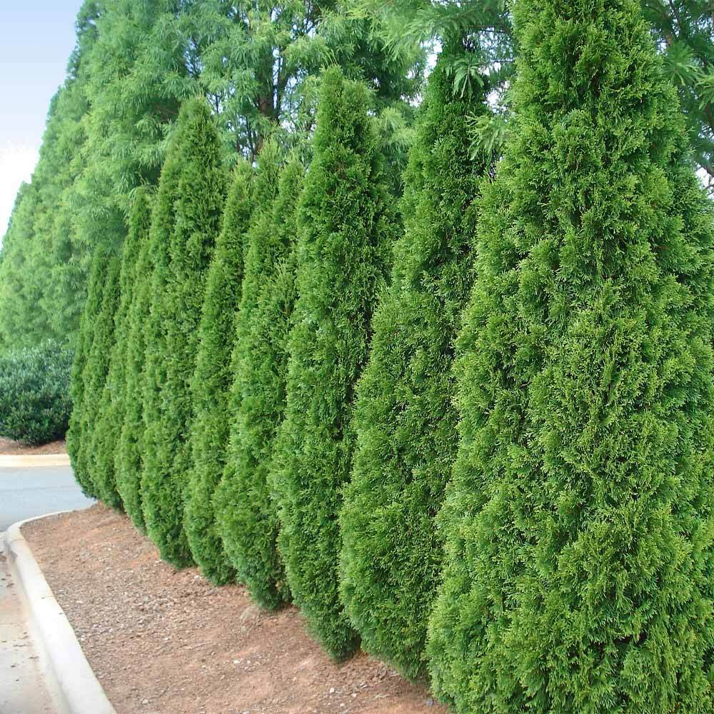 EMERALD GREEN ARBORVITAE, (CHRISTMAS TREE) has a small, beautiful spirally form. Evergreen and cold hardy