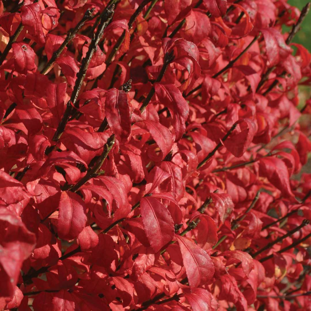 Euonymus Alatus 'Fire Ball- Outstanding bright red fall foliage with green flowers. Extremely adaptable and excellent use for landscaping. PIXIES_DUD