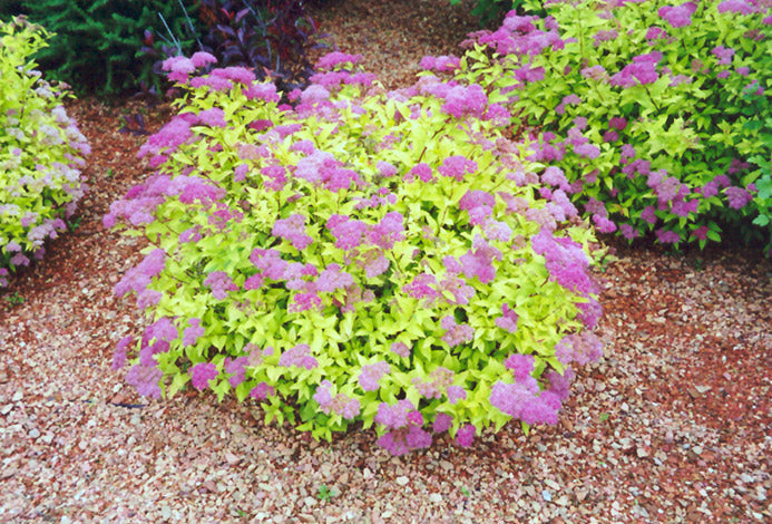 GOLDMOUND SPIREA- Pink flowers,golden spring foliage,small, compact shrub PIXIES_DUD