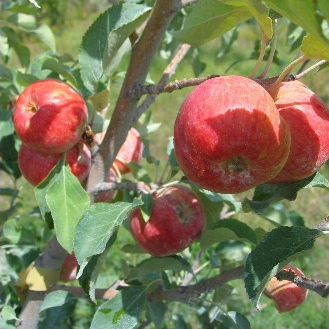 GALA APPLE Tree fruit are medium to large in size, golden skin with red striping, white flesh, crisp, good flavor.