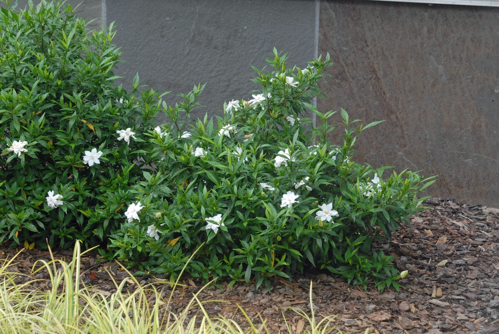 DWARF RADICAN GARDENIA- Intense Fragrance, evergreen, miniature gardenia. Heat and drought-tolerant is low and spreading