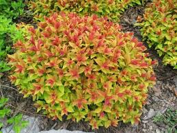 (1 Gallon) Gold Flame Spirea,shrub features attractive bronze-tinged new growth in spring, maturing to soft yellow-green
