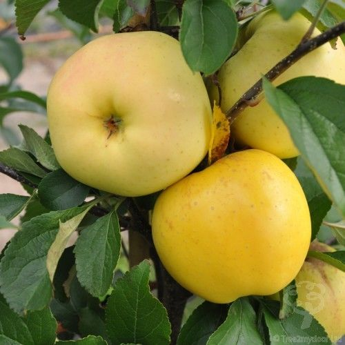Golden Delicious Apple Tree, Extra Juicy, Crisp and Sweet