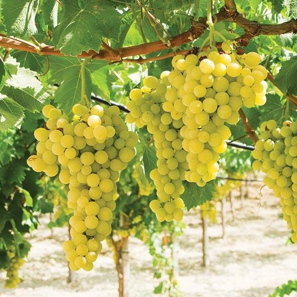 "Lakemont Seedless Grapevines Sweet Excellent Flavored ""White"" Green Grape, Large Clusters On Vigorous Growing Vines"