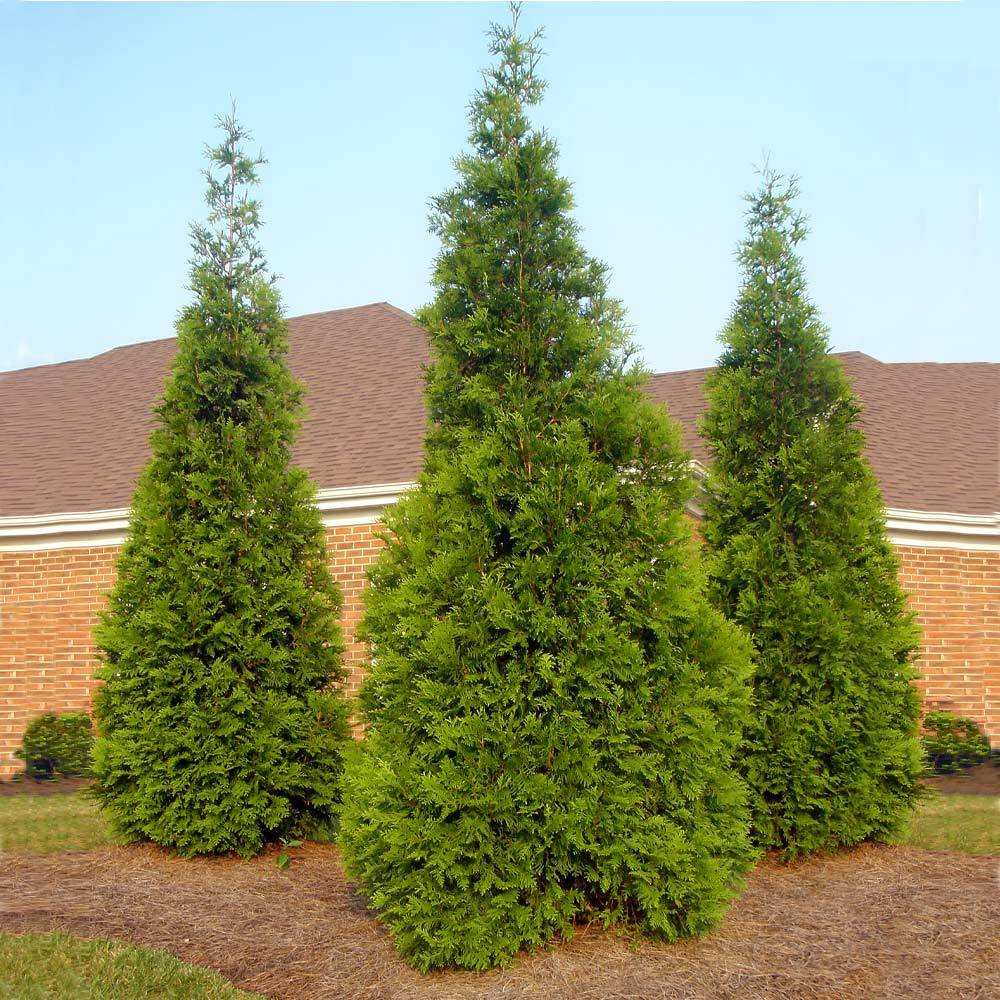 GREEN GIANT Thuja- Natures Privacy Fence, Green, Tall and Beautiful Hedge PIXIES_DUD