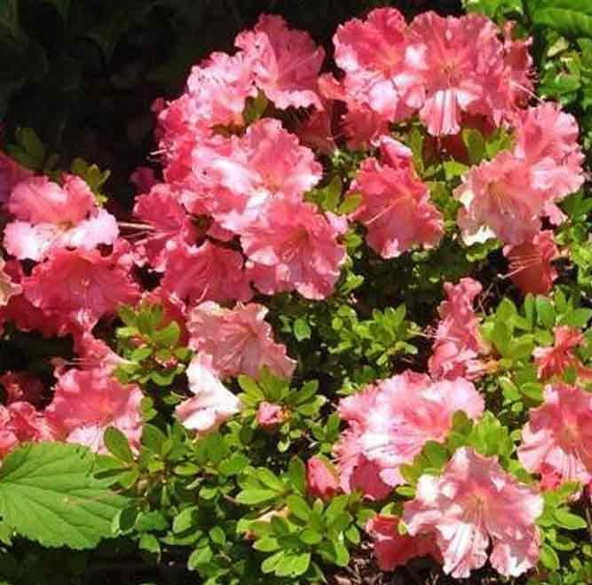 Gumpo Pink Dwarf Azalea-miniature azalea. Dense, low & mounding. Late season bloomer.