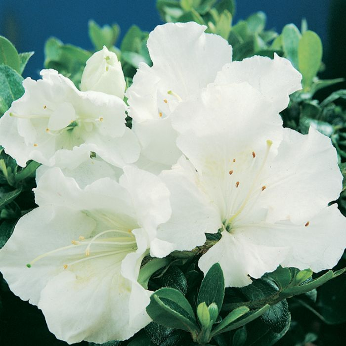 Gumpo White Dwarf Azalea-Dwarf evergreen azalea. Dense, low & mounding. Late season bloomer.