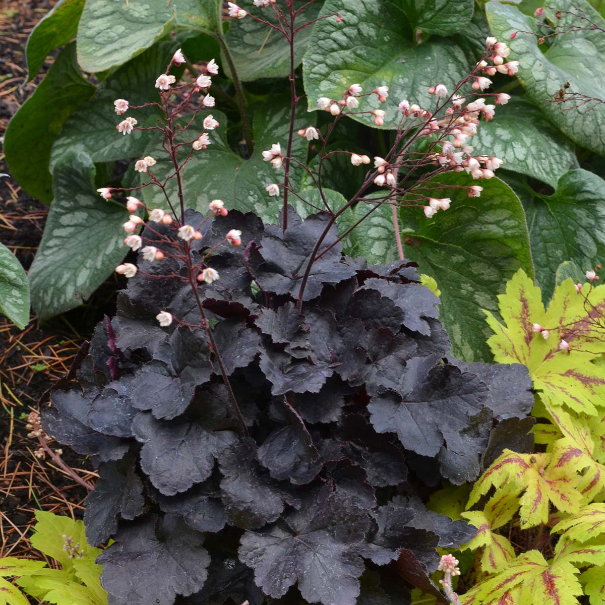 (1 Gallon Plant) Heuchera 'Little Cutie Coco' Coral Bells - Charming, Compact Dark Chocolate Foliage and Small Sprays of Coral Pink Flowers Very long blooming.