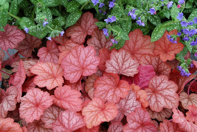 (1 Gallon Plant) Heuchera 'Georgia Peach' Coral Bells - Glowing Peach-Colored Foliage Has A Silvery Overlay, Shifting To Rosy As The Weather Cools.