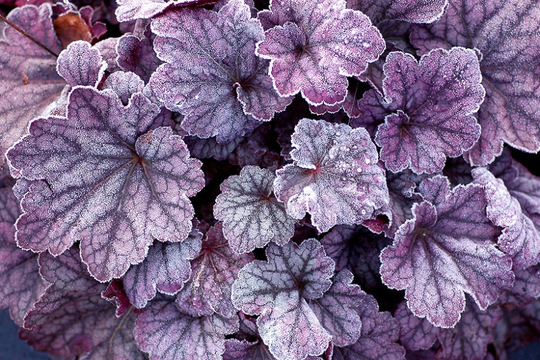 (1 Gallon Plant) Heuchera 'SUGAR PLUM' Coral Bells - Deep Plum-Purple To Silvery Pink Foliage, Small Pink Bell Flowers Dangle From Burgandy Stems. Excellent Tolerance To Heat and Humidity.