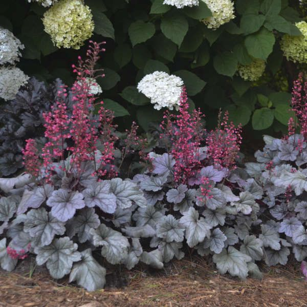 1 Gallon Pot: Heuchera Dolce® 'Silver Gumdrop' PPAF Coral Bells, Alumroot. A Heuchera villosa hybrid featuring silver iridescent leaves with a semi-gloss finish.  Vibrant pink flowers.