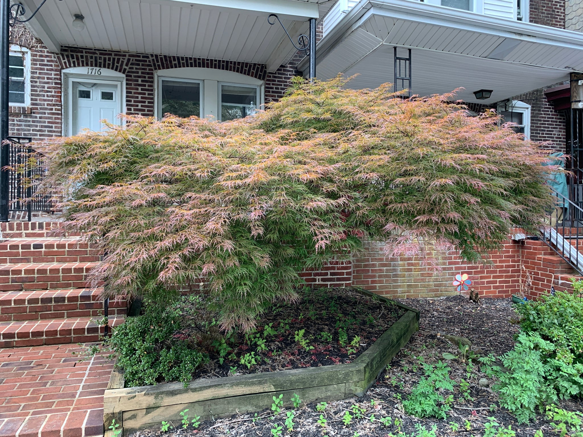 INABA SHIDARE Japanese Maple-Outstanding deep red lace leaf palmatum. Leaves develop a deep tone of purple red as they grow in the spring and retain the deep color all season.