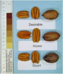 Kiowa Pecan Tree, produces a very large, high quality nut.