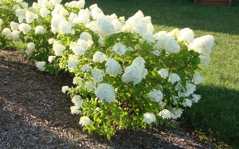 Dwarf Limelight hydrangea- a petite shrub,grows to a height of 3-5' tall and wide, very cold hardy to -35*F