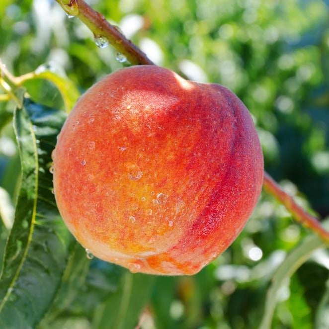 LORING PEACH tree, self-pollinating, excellent for processing, fresh eating, canning and preserves, medium-to-large peaches in mid-August