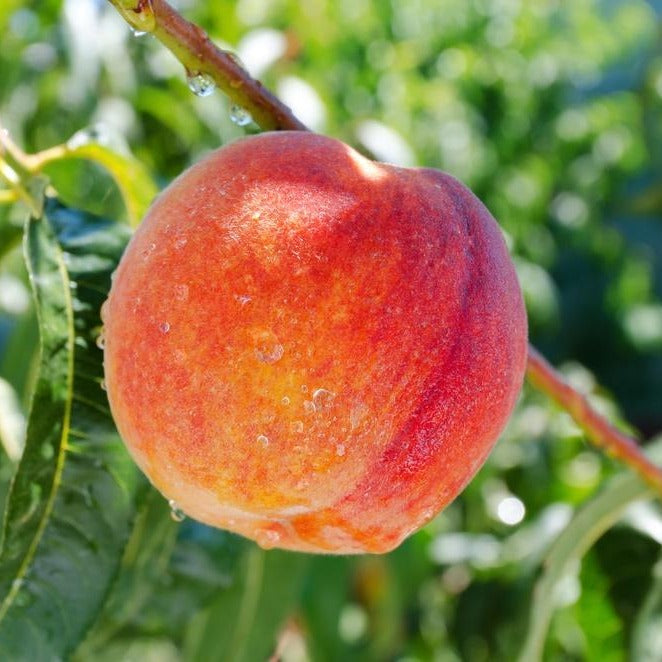 CONTENDER PEACH tree, Dwarf, COLD HARDY-for temperatures below 0, Fruit are medium in size,