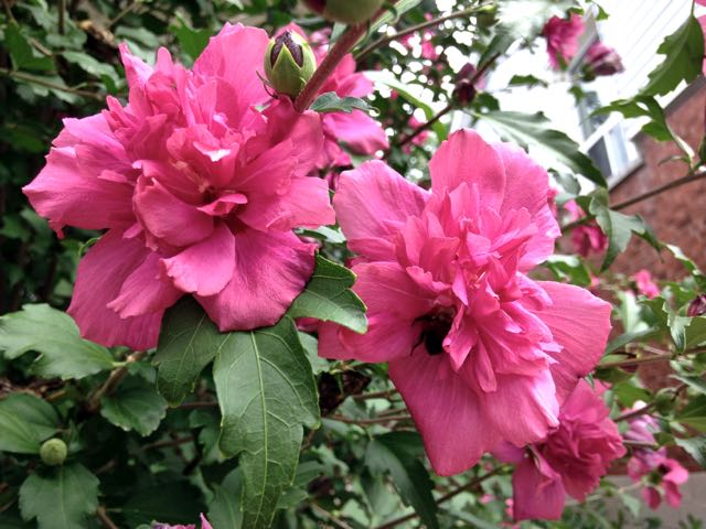 Lucy Double Rosy Red Althea AKA Rose of Sharon- shrub is covered in gorgeous blooms from summer to fall.