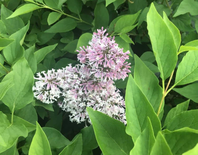 MISS KIM LILAC-COMPACT SHRUB WITH LAVENDER TO BLUE, SWEETLY FRAGRANT SINGLE FLOWERS IN DENSE CLUSTERS IN MAY AND JUNE_Reserve_Now