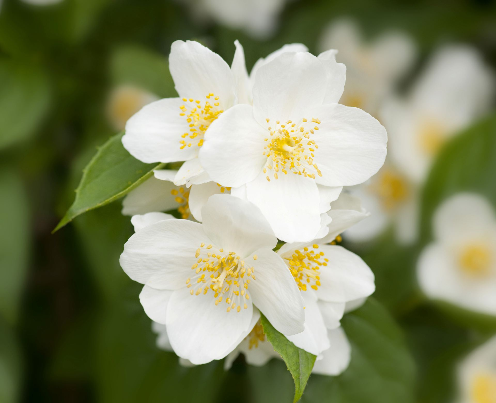MOCK ORANGE- Gorgeous Flowering shrub large, Beautiful white flowers in early summer.