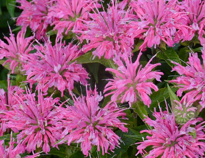 (1 Gallon) Monardia 'Pardon My Pink' BEE Balm, Fragrant Dark Fuchsia Purple Flowers Bloom Mid-late Summer. Short Habit, Mildew Resistant.