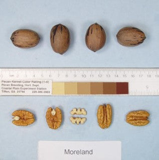 MORELAND PECAN Tree, produces a medium sized nut at 60.5 nuts/lb.