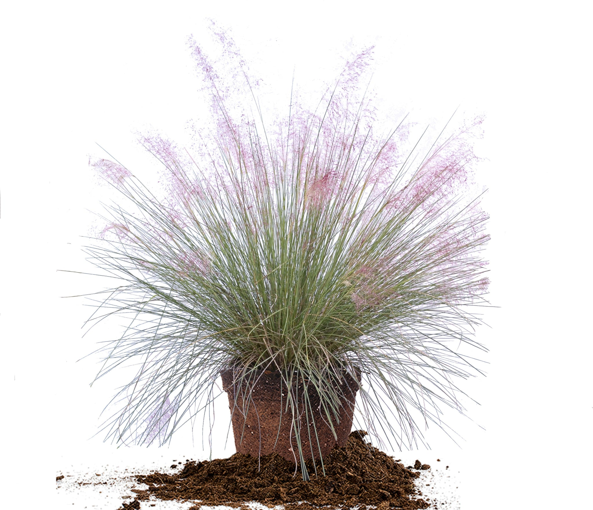 Muhlenbergia Purple Muhly Muhlenbergia capillaris - Beautiful hedge-like plant with flowers that are very feathery and add a cloudlike appearance to the top of the grass.